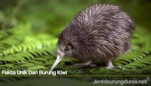 Fakta Unik Dari Burung Kiwi