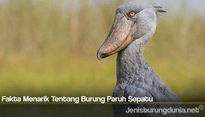 Fakta Menarik Tentang Burung Paruh Sepatu