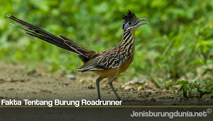 Fakta Tentang Burung Roadrunner