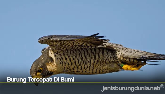 Burung Tercepat Di Bumi