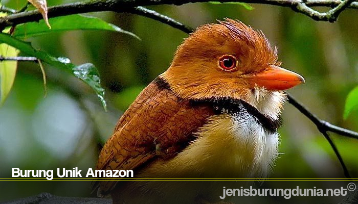 Burung Unik Amazon