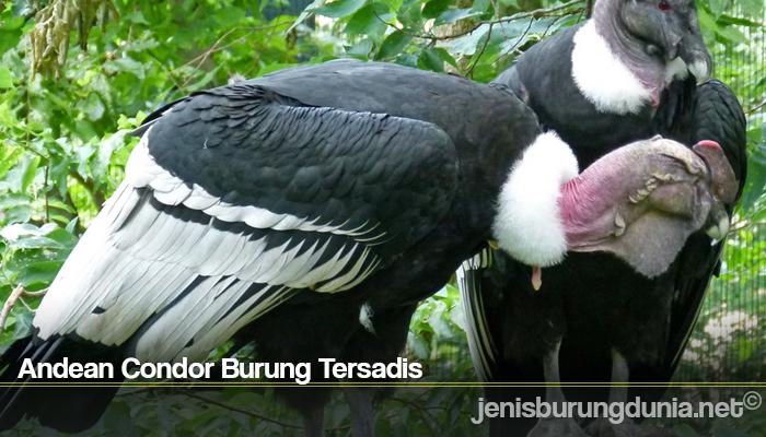Andean Condor Burung Tersadis