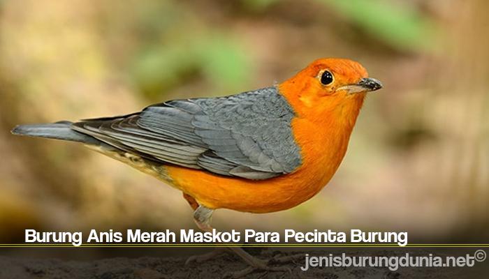 Burung Anis Merah Maskot Para Pecinta Burung