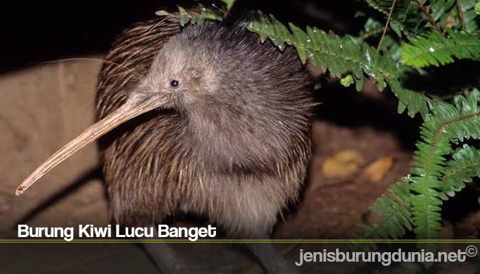 Burung Kiwi Lucu Banget