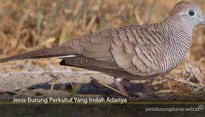 Jenis Burung Perkutut Yang Indah Adanya