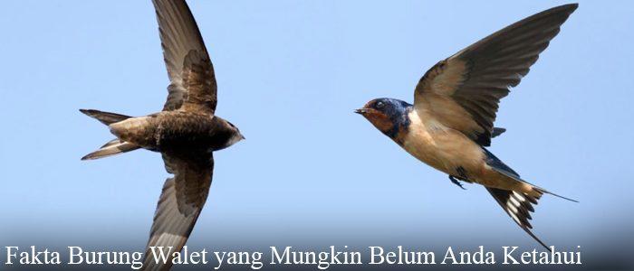 Fakta Burung Walet yang Mungkin Belum Anda Ketahui