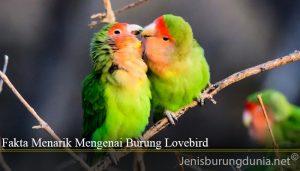 Fakta Menarik Mengenai Burung Lovebird