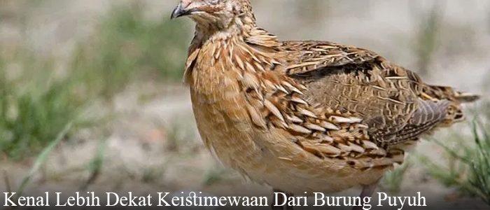 Kenal Lebih Dekat Keistimewaan Dari Burung Puyuh