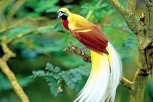 Burung-Surga-Cendrawasih