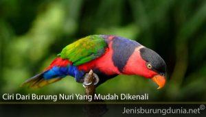 Ciri Dari Burung Nuri Yang Mudah Dikenali