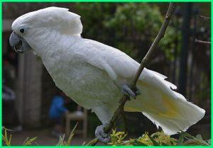 Kakatua-putih-Cacatua-alba