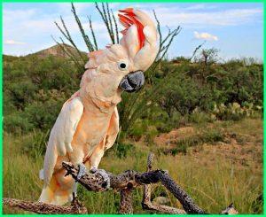 Moluccan-Cockatoo