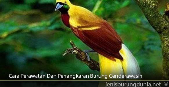 Cara-Perawatan-Dan-Penangkaran-Burung-Cenderawasih